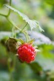 Frutta del lampone rosso Immagine Stock