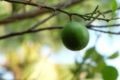 Frutta del limone sull'albero Immagini Stock
