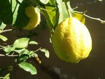 Frutta del limone sull'albero alla stagione primaverile Fotografia Stock