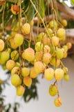 Frutta del litchi sull'albero Fotografia Stock Libera da Diritti