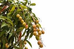 Frutta del litchi sull'albero e fondo isolato Immagine Stock