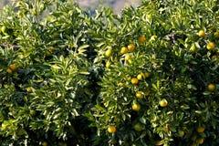 Frutta del mandarino Immagine Stock
