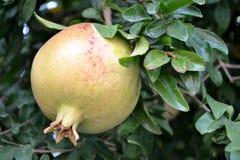 Frutta del melograno Immagini Stock