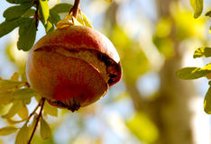 Frutta del melograno Fotografie Stock