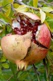 Frutta del melograno, punica granatum Fotografia Stock Libera da Diritti