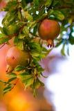 Frutta del melograno sul ramo Fotografia Stock