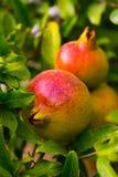 Frutta del melograno sul ramo Immagine Stock