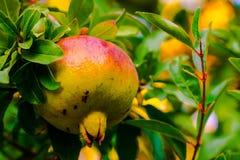 Frutta del melograno sul ramo fotografie stock libere da diritti