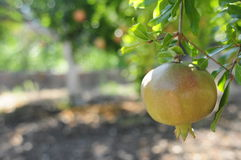 Frutta del melograno sull'albero Fotografia Stock