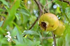Frutta del melograno sull'albero Immagine Stock Libera da Diritti
