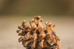 Frutta del pino immagine stock
