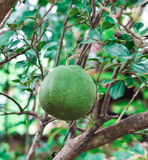 Frutta del pomelo Fotografia Stock