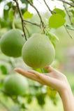 Frutta del pomelo Fotografie Stock Libere da Diritti