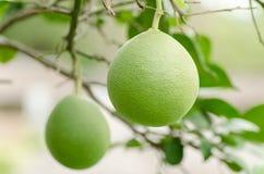 Frutta del pomelo Fotografia Stock Libera da Diritti