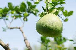 Frutta del pomelo Immagini Stock Libere da Diritti