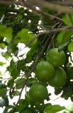 Frutta del pomelo che appende sull'albero nel giardino Fotografia Stock Libera da Diritti