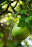 Frutta del pomelo che appende sull'albero nel giardino Fotografie Stock Libere da Diritti