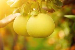Frutta del pomelo in giardino Fotografie Stock
