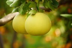 Frutta del pomelo in giardino Immagini Stock