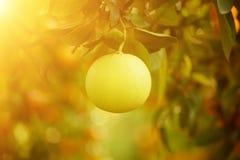 Frutta del pomelo in giardino Fotografia Stock Libera da Diritti
