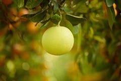 Frutta del pomelo in giardino Fotografia Stock