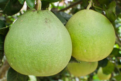 Frutta del pomelo nell'albero Fotografie Stock Libere da Diritti