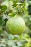 Frutta del pomelo sull'albero Fotografie Stock