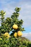 Frutta del pomelo sull'albero Fotografia Stock Libera da Diritti