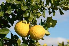 Frutta del pomelo sull'albero Fotografia Stock