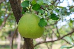 Frutta del pomelo sull'albero nel fuoco selettivo del giardino immagine stock