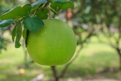 Frutta del pomelo sull'albero nel fuoco selettivo del giardino fotografia stock