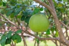 Frutta del pomelo sull'albero nel fuoco selettivo del giardino fotografia stock libera da diritti