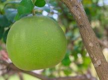 Frutta del pomelo sull'albero nel fuoco selettivo del giardino immagini stock libere da diritti