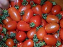 Frutta del pomodoro ad agricoltura di sicurezza giusta Immagini Stock