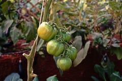 Frutta del pomodoro nel sistema della serra immagini stock libere da diritti