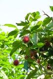 Frutta del Rambutan Immagini Stock Libere da Diritti