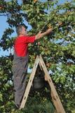 Frutta dell'albicocca di raccolto dell'agricoltore in frutteto Fotografia Stock Libera da Diritti
