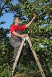 Frutta dell'albicocca di raccolto dell'agricoltore in frutteto Fotografie Stock Libere da Diritti