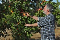 Frutta dell'albicocca di raccolto dell'agricoltore in frutteto Fotografia Stock