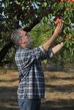Frutta dell'albicocca di raccolto dell'agricoltore in frutteto Immagine Stock