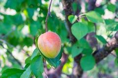 Frutta dell'albicocca sul ramo Immagini Stock Libere da Diritti