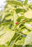 Frutta dell'alloro giapponese del giardino di inverno Japonica di Aucuba Fotografia Stock