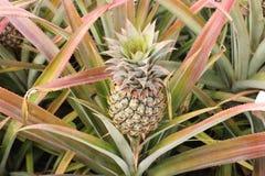Frutta dell'ananas Fotografie Stock