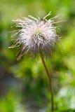 Frutta dell'anemone alpino Fotografia Stock Libera da Diritti