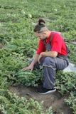 Frutta dell'anguria e dell'agricoltore in un campo Fotografia Stock