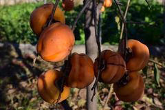 Frutta dell'arancia del cachi Immagini Stock Libere da Diritti