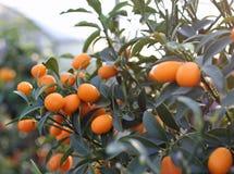 FRUTTA dell'arancia del kumquat Immagini Stock Libere da Diritti