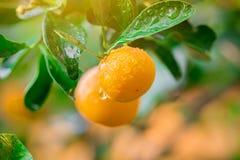 Frutta dell'arancia di marmellata d'arance del kumquat fresca Fotografia Stock