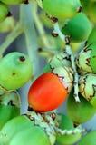 Frutta dell'areca Fotografia Stock