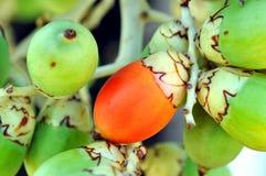 Frutta dell'areca Fotografia Stock Libera da Diritti